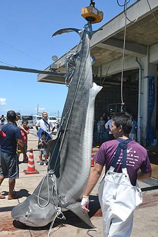八重山漁協一本釣り研究会が駆除した492㌔のイタチザメ=24日、八重山漁協荷さばき場前(沖縄タイムス提供)