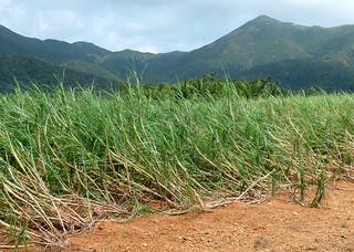 台風13号の暴風で倒伏したサトウキビ。折損被害は少なかったという=10日午前、於茂登岳ふもとのサトウキビ畑