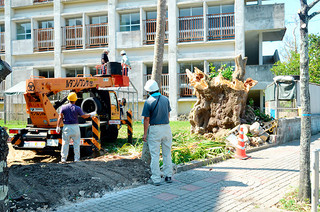 校舎新増改築工事に伴い伐採された登野城小学校のデイゴの巨木=18日午前、同校前