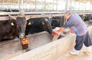八重山肥育センターで飼育されている石垣牛=21日午前、石垣市白保