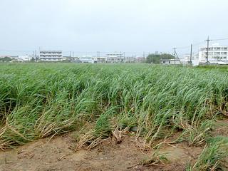 台風15号の襲来で被害が懸念されるサトウキビ=23日午前、石垣市大川