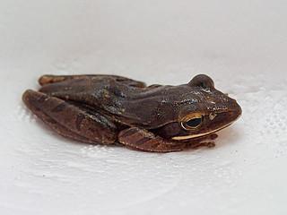 2日に西表上原で捕獲されたシロアゴガエル(那覇自然環境事務所提供写真)