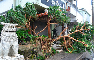 強風にあおられ、飲食店の入り口をふさぐように倒れたアダン=28日午後、石垣市大川の産業道路沿い