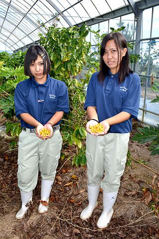 コーヒー豆「ブルボンアマレロ」の実を収穫した八重農アグリリサーチ部の狩俣美咲さん(左)と大山聖和さん=3日午前、同校のバラビドウ農場