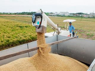 収穫されたばかりの二期米。コンバインでトラックに積み込まれる=11日午前、石垣市平田原