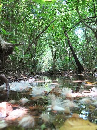 久宇良地区の嘉良川流域に自生するサガリバナ群落。市有地16㌶を第1種特別地域に編入することで群落の約6割をカバーできるという(環境省提供)