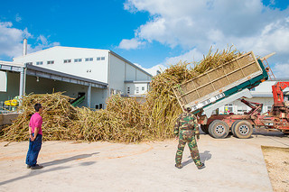 操業が始まった西表糖業にサトウキビが次々と運び込まれた=8日午後