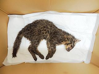 交通事故死したとみられるイリオモテヤマネコの幼獣=(西表野生生物保護センター提供写真)