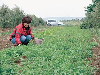 緑のじゅうたんのようになったクシティ畑で摘み取り作業を行う米浜玉江さん=2015年12月16日、与那国空港南方