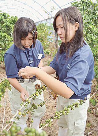 コーヒー豆「ブルボンアマレロ」を収穫する大山聖和さんと狩俣美咲さん(右から)=2015年11月3日午前、八重農バラビドウ農場