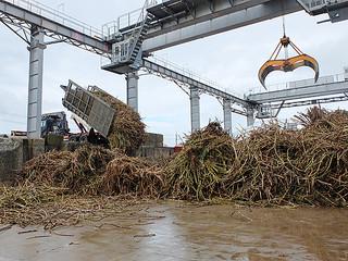 運び込まれたサトウキビ。雨の影響でハーベスターによる刈り取りができず、搬入量が少なかったため、工場は稼働しなかった=5日午前、石垣島製糖