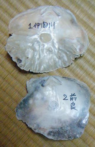 分析に使用したクラマドガイの殻=2015年8月21日(小菅丈治さん提供)