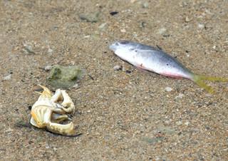 寒さで仮死し、浅瀬に打ち上げられた魚とカニ=25日午後、名蔵湾