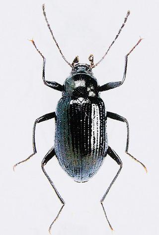 ショウヤマキマワリ(日本甲虫学会提供)