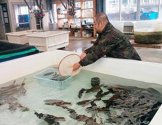 石垣市水産課が取り組んだスジアラの試験養殖。2年間で出荷サイズの500㌘まで成長させた(市水産課提供)