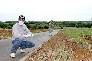 フェロモンを発生させるチューブを設置する農家ら=6日午前、伊野田地区のサトウキビ畑