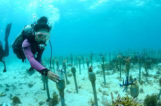養殖したサンゴの苗を移植する「3935プロジェクト」(同プロジェクト実行委提供)