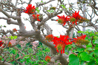 真紅の花を咲かせたデイゴ=22日、竹富島
