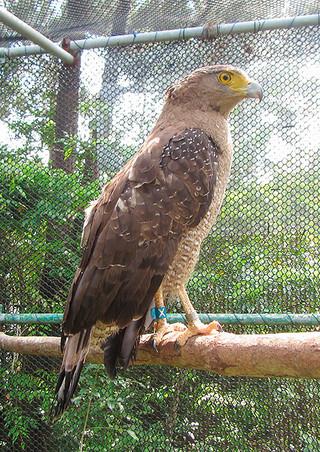 交通事故から回復し、放鳥されたカンムリワシ(環境省西表野生生物保護センター提供写真)