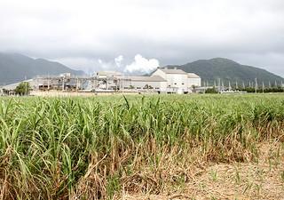 糖度が低くなっている今期産のサトウキビ。石垣島製糖(奥)の砂糖歩留まりも低下している=4日午後、石垣市名蔵