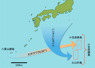 オガサワラヒヨドリとハシブトヒヨドリの祖先はそれぞれ八重山諸島と本州、伊豆諸島に由来する(国立研究開発法人森林総合研究所の資料をもとに作成)