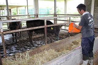 第11回全国和牛能力共進会の肥育部門への出品を目指し、肥育されている子牛=13日午前、JAおきなわ八重山地区本部畜産振興センター八重山肥育センター