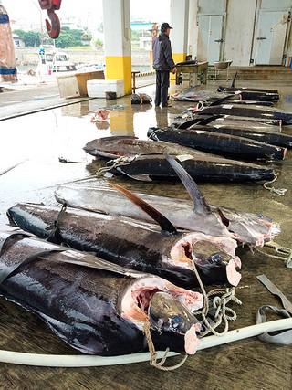 熊本地震の影響で熊本地方卸売市場に送れなくなっているカジキ。与那国町漁協は他の市場に分散して対応している=2015年3月22日午前、与那国町漁協(資料写真)