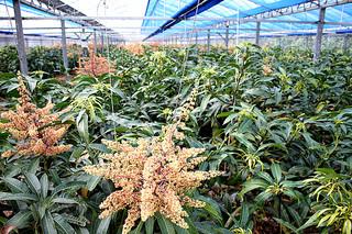 例年だと一面、黄金色に輝いているマンゴーハウス。今期は開花率が悪くなっている=16日、石垣市内のマンゴーハウス