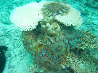 サンゴに群がるオニヒトデ。幼生の段階で特定の場所に高密度で分布することが分かった(国立研究開発法人水産研究・教育機構西海区水産研究所提供)