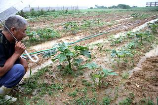 発芽しても疫病で立ち枯れ被害が出ているオクラ。順調に生育している苗は少ない=27日午後、白保のほ場