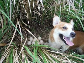 インドクジャクの卵を発見した探査犬(町自然環境課提供写真)=9日午後、小浜島
