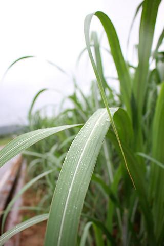 八重山地方は16日、梅雨入りしたとみられ、サトウキビの収穫への影響が懸念されている=16日、字大川