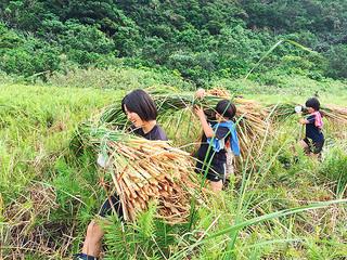 重く大きな束のヒメガマを湿地から運び上げる久部良中の女生徒たち=18日午後、樽舞湿地帯