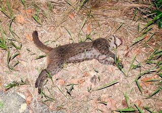 交通事故で死んだとみられるイリオモテヤマネコ=5月31日午後8時50分ごろ、西ゲーダ付近の県道(西表野生生物保護センター提供)