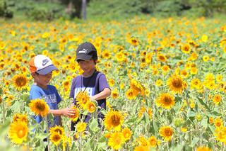 大輪の花を咲かせているヒマワリ=25日午前、川平真地原