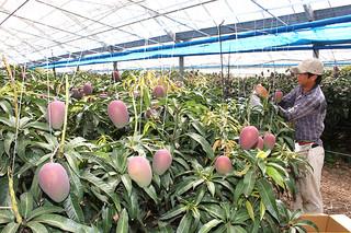 色づき始めたマンゴーの実。農家は袋がけ作業に忙しい=25日午後、石垣市嵩田地区内のマンゴーハウス
