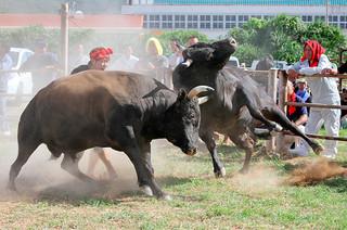 ミニ軽量級タイトル戦で、猛烈な勢いで精鋭無比を攻める兎(左)=1日午後、与那国イベント広場