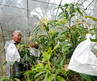 マンゴーの生育状況を確認するバラビドー観光農園の上間昇代表=7日午後、同園