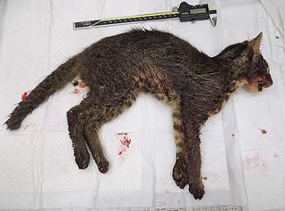 交通事故で死んだとみられるイリオモテヤマネコ(西表野生生物保護センター提供写真)