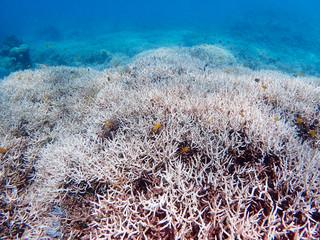 白化現象が起きているミドリイシの群落=22日、石西礁湖内(吉田稔さん提供)