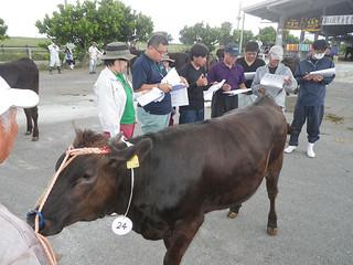 若雌、成雌など5部門に40頭が出場して開かれた第11回黒島畜産共進会=1日、黒島家畜セリ市場