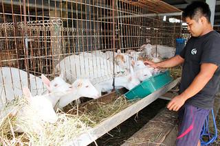 石垣市の優良繁殖ヤギの貸出事業で生産体制の強化が期待されているヤギ=2日午後、平得の新垣山羊牧場