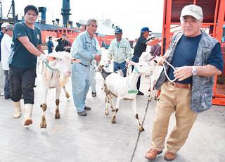 石垣市の山羊増殖改良推進貸付事業で本島から購入した優良繁殖ヤギをトラックに運び込む石垣市山羊生産組合の会員=1日午後、石垣港