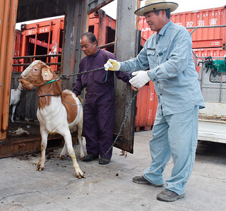 県の事業を初めて活用して本島から到着した優良種雄ヤギと市山羊生産組合の宮國文雄組合長(右)=15日午後、石垣港