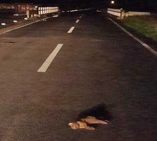 交通事故に遭ったとみられるイリオモテヤマネコ。路上に倒れ、すでに死んでいた=4日夜、上原の県道215号線(NPO法人どうぶつたちの病院沖縄提供)