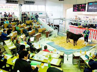 高値がつき、さい先の良いスタートを切った2017年の子牛セリ=13日午後、八重山家畜市場