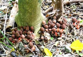 木の根元に寄り添うように生えているリュウキュウツチトリモチ=27日午前、やちむん館敷地内