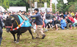 節目となる第25回黒島牛まつりで、2年ぶりに実施された人と牛との綱引き=26日午後、黒島多目的広場