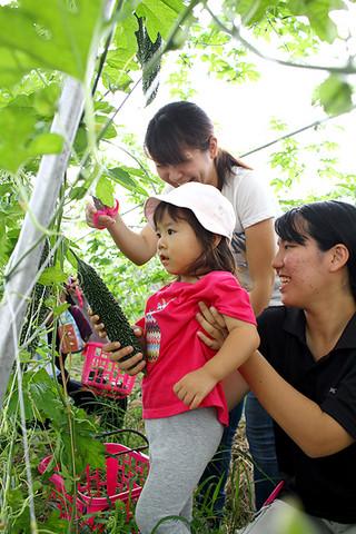 ゴーヤを収穫する参加者=5日午前、八重山農林高校ライフスキル科野菜ほ場