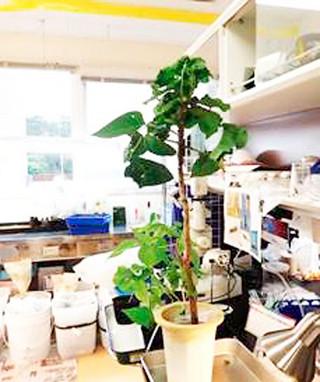 天敵のデイゴカタビロコバチを放した部屋で育てられたデイゴの苗(県森林資源研究センター提供)